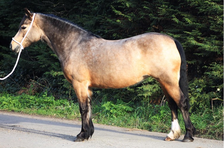 Bobbi Shepherd - Welsh Cob